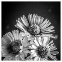 Marguerite by Malcolm21