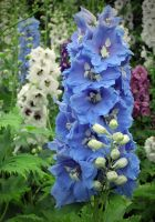 Delphiniums by pinkal09