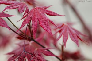 Red Leaf Maple by Rebelmoon