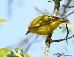 Yellow Warbler 2013  I by natureguy