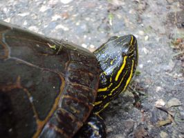 Painted Turtle 2 by highlyimprobable