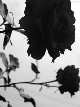 Black roses by A-aN-nA-a