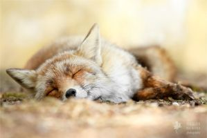 Sleeping Beauty _ Red Fox taking a nap by thrumyeye