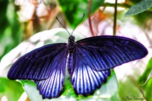 Black wings. by Phototubby