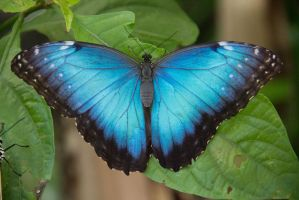 Blue Morpho Butterfly (Morpho peleides) by SarahsArtandPhotos