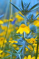 blue and yellow by bedstraw