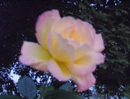 Yellow and Pink Rose by RustyFanatic05