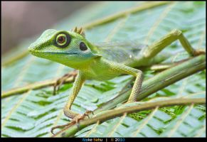 Green Crested Lizard - II by alokethebloke