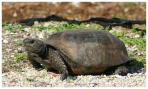 Gopher Tortoise by CTP