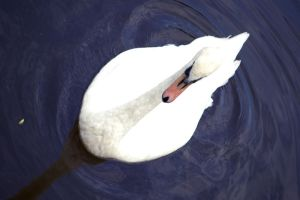 Swan by Jimridlington