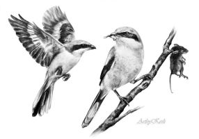 Great Grey Shrike by ArtbyKerli