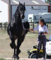 Friesian Stock 3 by Thunderbolt-Designs