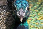 Peacock. by Evey-Eyes