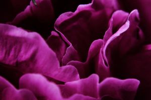 Peony Petals by S-H-Photography