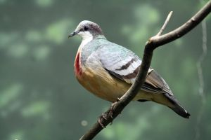 Bleeding Heart Pigeon by MegMarcinkus