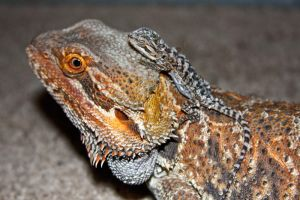 Bearded Dragon and baby by IsXack-bassist