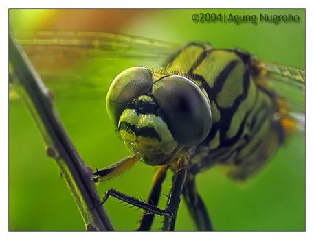 dragonfly6 by patul