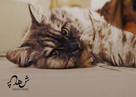 Bella my sweet cat by shosheta