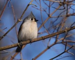 Tufted Titmouse II by natureguy