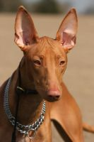 Miss Pharaoh Hound by SaNNaS