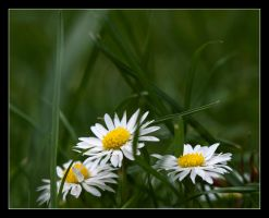 the daisy trinity by LordLJCornellPhotos