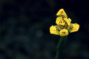Yellow Orchid by shandya
