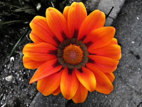 Orange sun flower by gobiaodorio