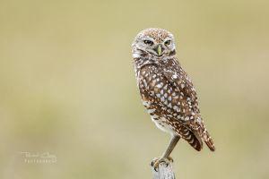 .:Burrowing Owl II:. by RHCheng