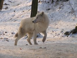 North American Arctic Wolf 109 by animalphotos