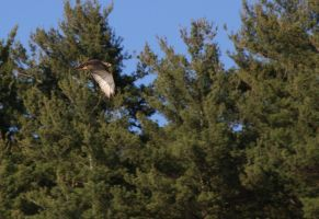 Red Tail Hawk Side by ShadowstalkerW