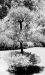 Infrared Tree by terex0976