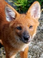 Dhole 8 by Exthree-photo