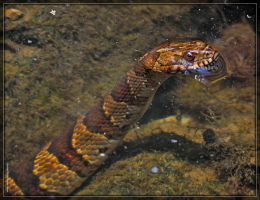 Midland Watersnake 50D0005790 by Cristian-M