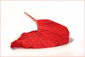 Pointsettia Red by 100TangledThreads