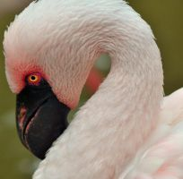 Lesser Flamingo by xSiorcanna