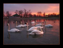 Swan friends by demony