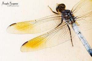 Yellow Dragonfly Wings by anzella88