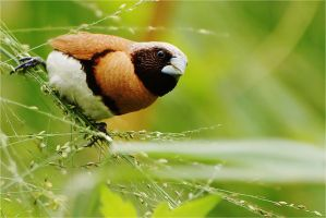 Chestnut-breasted Munia by Louvargent