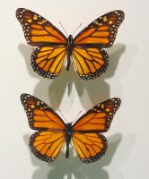 Two Monarch Butterflies by Kitteh-Pawz