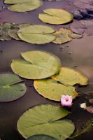 Lilly Pond by natxnat