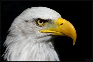 Bald Eagle Face2 by cycoze