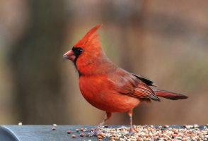 Male Cardinal 12-26-11 by Tailgun2009