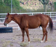 Quarter Horse Stock 3 by Rejects-Stock