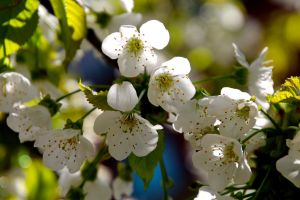 crab apple blossoms by minamiko