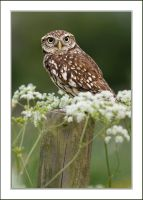 The Little owl by AngiWallace