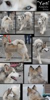 Malamute Cross: Reference Stock by CrazyRodeoGirl