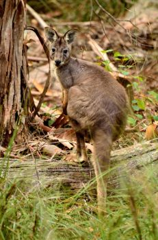 Wild Wallaby by 8TwilightAngel8