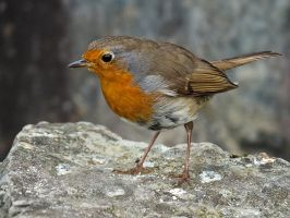 Robin on the Rocks by CharmingPhotography