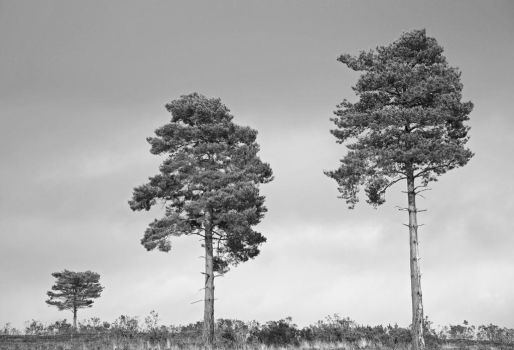 Three trees by spurs06