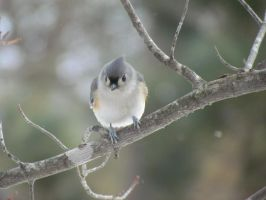 Tufted Titmouse by DerBrotkorb